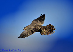 YOUNG PEREGRINE FALCON (spw6156) Tags: copyright lens hand steve young iso 400 falcon cropped mm 500 held nationaltrust raptors waterhouse peregrine plymbridge cannquarry spw6156 stevewaterhouse plymperegrineproject plymbridgeperegrinefalcons copyrightstevewaterhouse