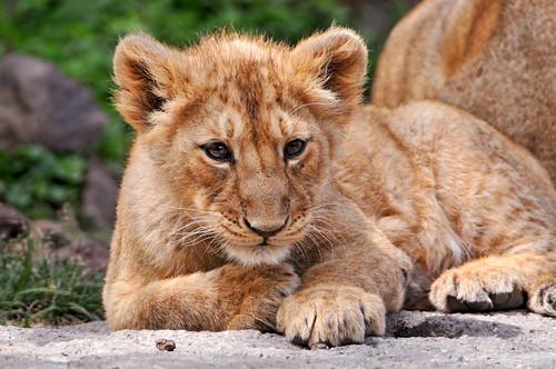 フリー画像| 動物写真| 哺乳類| ライオン|        フリー素材|