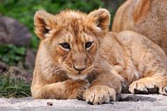 [フリー画像] [動物写真] [哺乳類] [ライオン]        [フリー素材]