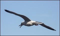Endspurt.... (♥ ♥ ♥ flickrsprotte♥ ♥ ♥) Tags: strand wasser gulls möwe kiel wellen sturm strande schilksee ritabaer kielerwoche2009