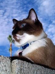 Bella's Blue Sky (joecrowaz) Tags: arizona sky cats pets animals clouds mywinners abigfave kittyschoice catmoments alittlebeauty oscarsurrealleous mmmilikeit