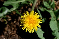 Taraxacum officinale (Dandelion) - Introduced weed (Arthur Chapman) Tags: weed australia dandelion queensland asteraceae toowoomba taraxacum taraxacumofficinale compositae officinale taxonomy:class=magnoliopsida taxonomy:order=asterales taxonomy:family=asteraceae taxonomy:genus=taraxacum taxonomy:kingdom=plantae geo:country=australia taxonomy:binomial=taraxacumofficinale geocode:method=gps geocode:accuracy=100meters