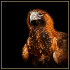 Wedge-tailed Eagle on Black (rogersmithpix) Tags: birds eagles raptors birdsofprey kangarooisland australianbirds wedgetailedeagle featheryfriday vivonnebay australianeagles australianraptors auilaaudax