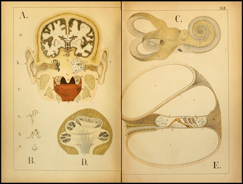 An atlas of Anatomy (FF Miller, 1879) a