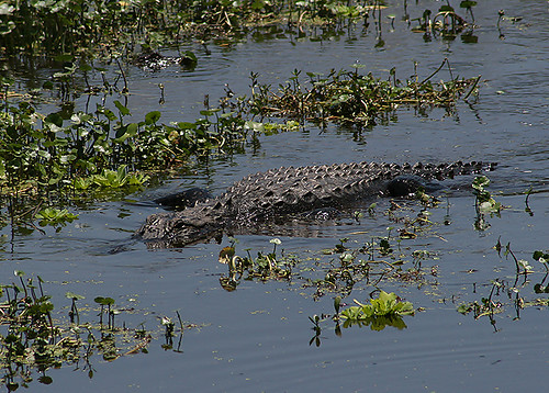 Lurking Alligator