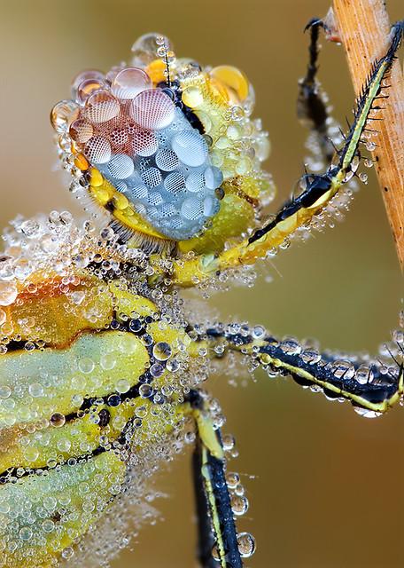 Frühe Heidelibelle (sympetrum fonscolombii)