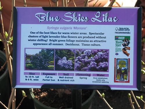blue skies lavender
