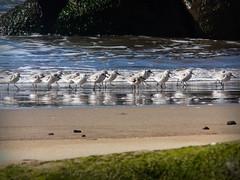 Sanderlings (Bobbie) Tags: california beach birds mendocino schoonergulch