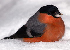 Bullfinch (Roger B.) Tags: snow bird garden finch bullfinch pyrrhulapyrrhula pyrrhula commonbullfinch alittlebeauty