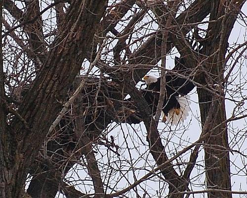 Bald Eagle & Nest
