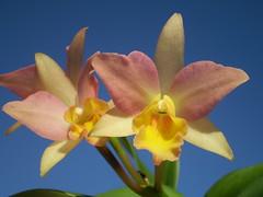 Potinara Cameron's Magnetism (dwittkower) Tags: orchid flower flora orchids orchidaceae orquideas orchidée orqudea