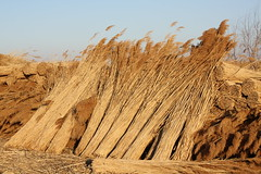 Sagne (Demi-Heure (timide retour !)) Tags: hiver marais roseaux gard bottes rcolte franquevaux sagne