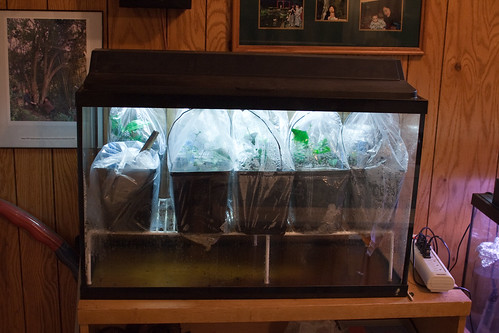 John Wang uses fish tanks to grow camellia seedlings