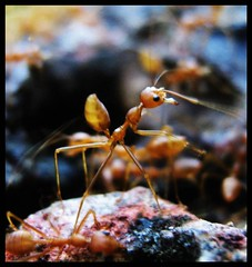 ant (Re Image) Tags: life macro love nature animal photography live ant platinum thebest watcher animalface goldenmix platinumphoto impressedbeauty aplusphoto diamondclassphotographer flickrdiamond mycameraneverlies overtheexcellence macromix wonderfulworldmix platinumphotography theperfectphotographer mallmix goldstaraward thebestshot naturethroughthelens vosplusbellesphotos mallmixstaraward mallmixstaraward group naturephotographs perfectphotographer photosmiles photographersworldbestfriends naturalsign