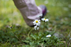 spring is on it's way () Tags: flowers primavera andy grass foot shoe spring focus dof bokeh walk andrea andrew erba daisy fiori piede margherita springtime 50mmf14 scarpa camminare naturesfinest benedetti nikond90