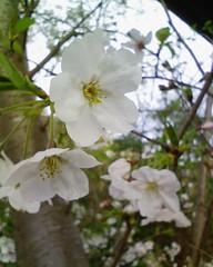 アドベンチャーワールドで桜