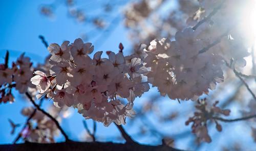 More Sakura 04