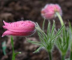 Kchenschelle (sabine1955) Tags: flower blumen frhling rubyphotographer