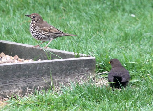 Thrush and Blackbird