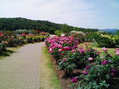越後丘陵公園のバラ園
