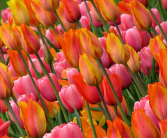Looking at Tulips (Sandra Leidholdt) Tags: flowers ontario canada flores nature floral flora tulips flor blossoms explore tulip tulipas blossoming springflowers tulpen blooming tulpe tulipaner tulipes tulipn tulipanes tulipany explored laleler  sandraleidholdt tulpenmeer  leidholdt sandyleidholdt