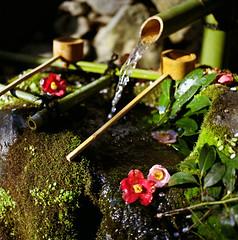 (yocca) Tags: flower film nature water wow spring flora kyoto shrine dof kodak bokeh hasselblad  botanic camellia 2009 tsubaki planar 500cm carlzeiss  400nc potra  2009quot quotapr