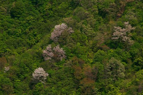 200905010719桜