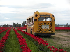 Red Tulips and School Bus