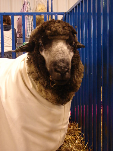 breed of american sheep