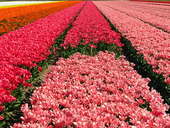 Vanishing point (Pangaia (en velo)) Tags: pink orange sunlight holland netherlands landscape carpet vanishingpoint spring colours tulips perspective sunny line diagonal tulipfield linear lisse cmwdpink gemsofnature