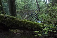 Tree in Whatcom Falls Park, Bellingham, Wa. (BHagen) Tags: bridge forest whatcomfalls bellinghamwa nikond80