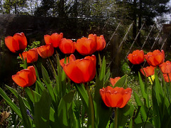 Tulips (Per Ola Wiberg ~ Powi) Tags: friends fab tulips loveit april click 1001nights 2009 soe flowerbox musictomyeyes inmygarden tulpaner awesomeshot beautifulearth blueribbonwinner otw supershot eker topshots wrangels flowerotica abigfave peaceaward anawesomeshot impressedbeauty flickrhearts diamondclassphotographer photosandcalendar citrit heartawards theunforgettablepictures photostosmileabout exemplaryshotsflickrsbest concordians goldsealofquality goldstaraward yourpreferredpicture thebestshot highqualityimage natureselegantshots flowermania thegoldenflower mimamorflowers salveanatureza beautifulshot damniwishidtakenthat abovealltherest auniverseofflowers awesomeblossoms freedomhawk panoramafotogrfico naturegreenstar photographerparadise naturescreations flowers flowercauleleaf fotografiayotros lizasenchantingphotogarden lovely~lovelyphoto favoritenaturalcolorsandlights favoritepictures flowersonflickr addictedtoflower favoritenaturalcolorslights livinglifebehindthelens theoriginalgoldseal weloveallflowers mycolorfulflowers 2heartsaward peaceandheart photographersworld lovelyflowersgroup