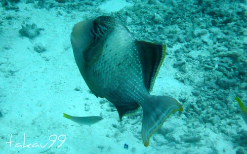Yellowmargin triggerfish, Similan Thailand