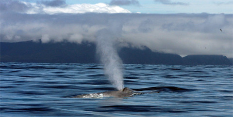 spouting blue whale