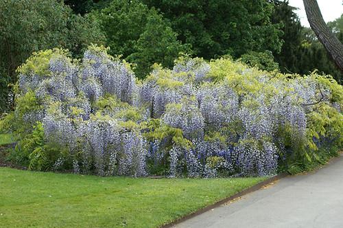 Kew-Gardens---wisteria