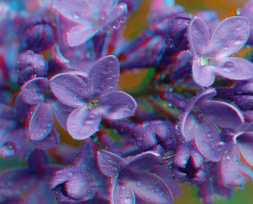 Lilacs up close (3D)