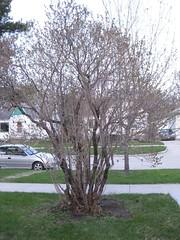Lilac Bush (after)
