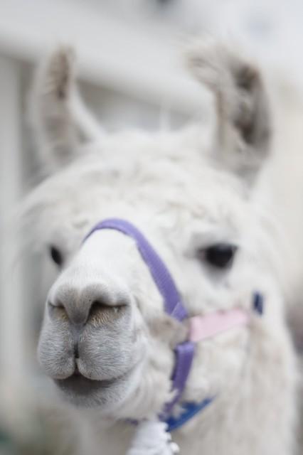 Wedding Llama