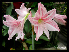 Hippeastrum reticulatum var. striatifolium 'Mrs. Garfield' at our frontyard, April 8 2009
