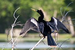 War Paint (Anhinga drying off)