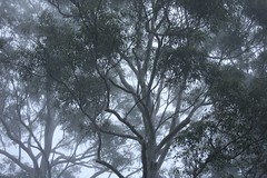 Gum Trees in the Sydney Winter Fog, New South Wales, Australia (Alex E. Proimos) Tags: wood morning trees winter cold green fog gum sydney bark proimos alexproimos