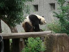 KouKou 2009/06/05 (TaoTaoPanda) Tags: panda koukou ojizoo