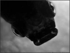 Those Eyes... (Jonathan|Campos) Tags: blackandwhite white fish black macro water dark blackwhite eyes underwater view kodak gray mother surface micro guppy overhead opteka livebearer z1012 kodakz1012 opteka10xhd²