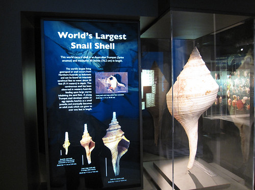World's largest snail shell