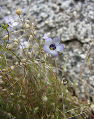 bird's eye gilia - gilia tricolor
