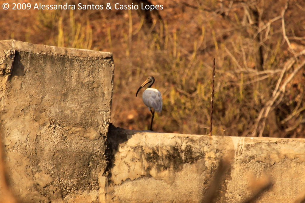 Black-headed Ibis _MG_2722_F