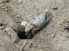 Heading back home... (capecodartandnature) Tags: beach capecod small sealife lowtide seashore tidal oceanlife fiddlercrabs springritual graybrown displaybehavior crabcolony courtshipbehavior