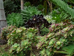 Aeonium spp (Luis Borja) Tags: succulent canarias tenerife canary suculentas aeonium crasas xerojardinería