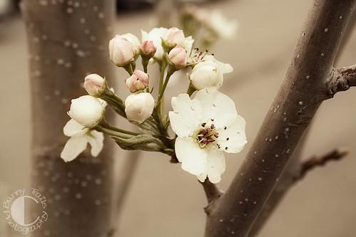 111-soft blossom2