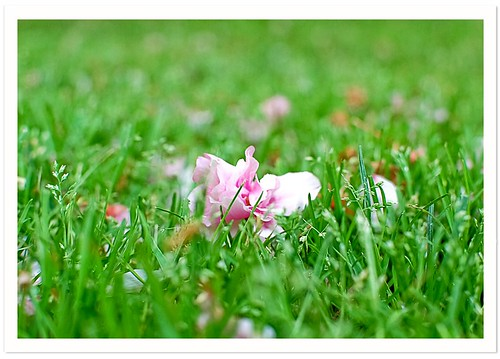 Blossoms in the Grass